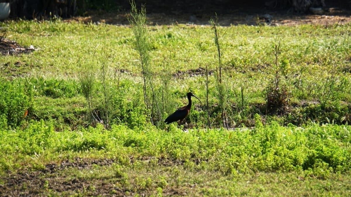 Bodrum'da çeltikçi kuş ve yavruları ilk kez görüntülendi