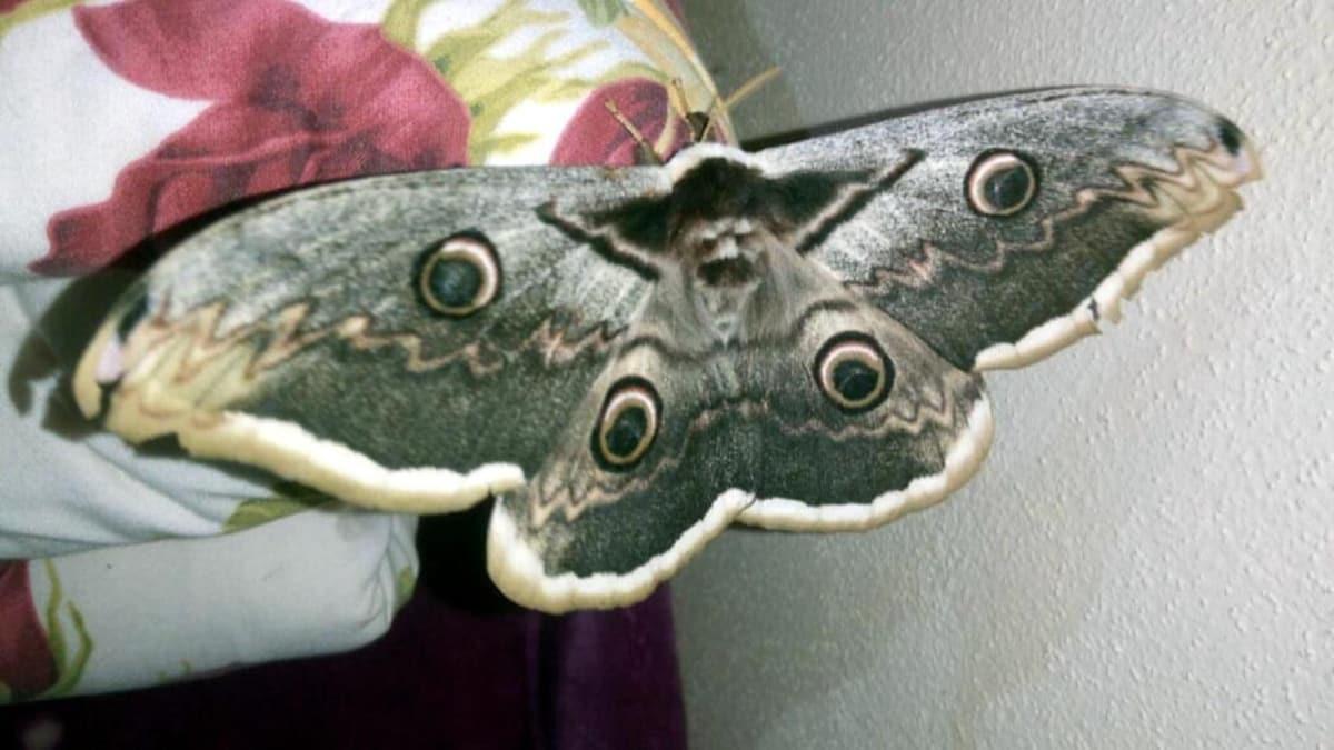 Kanat açıklığı 16 santimetre olan kelebek, görenleri hayran bıraktı
