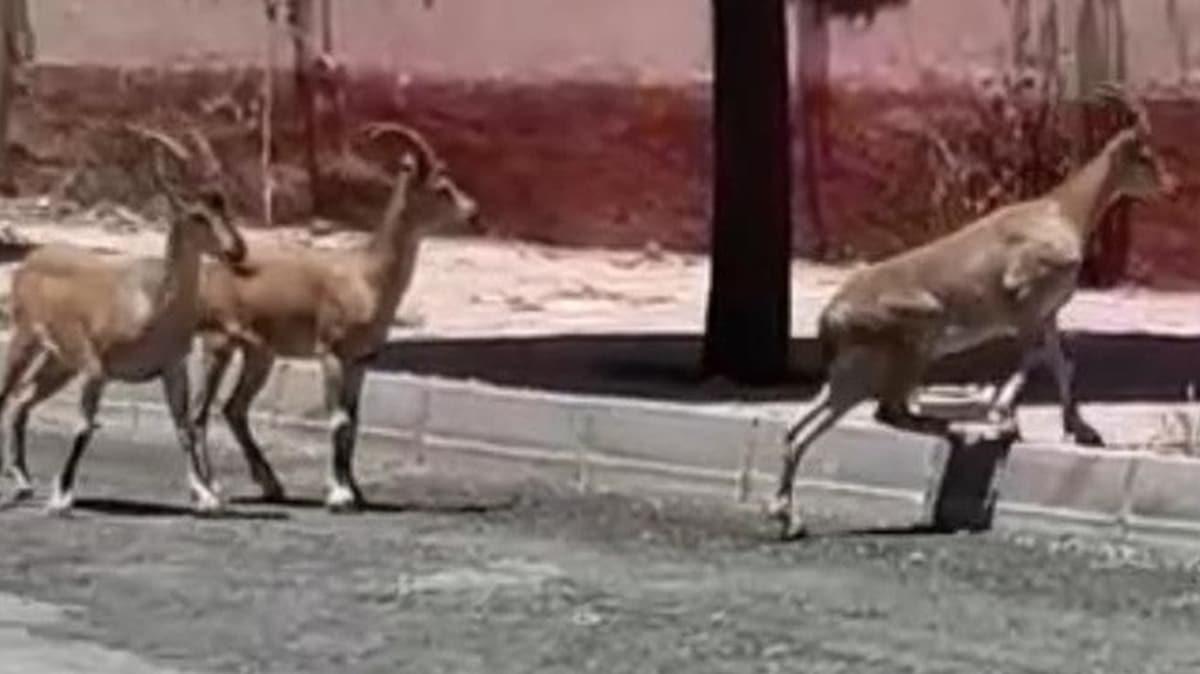 Mahalleli şaştı kaldı: Elazığ'da Dağ keçileri sokaklara kadar indi