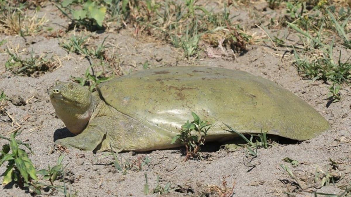 Adıyaman'da sadece Fırat ve Dicle nehirlerinde yaşayan Fırat kaplumbağasına rastlandı