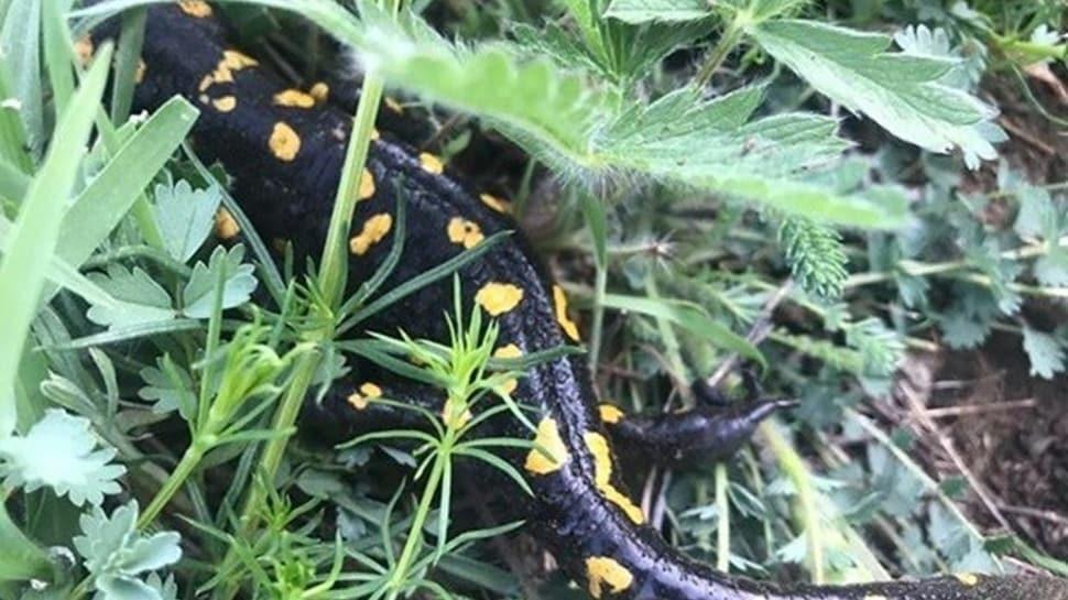 Tunceli'de taraklı Geyik Böceği ve semender türleri görüldü