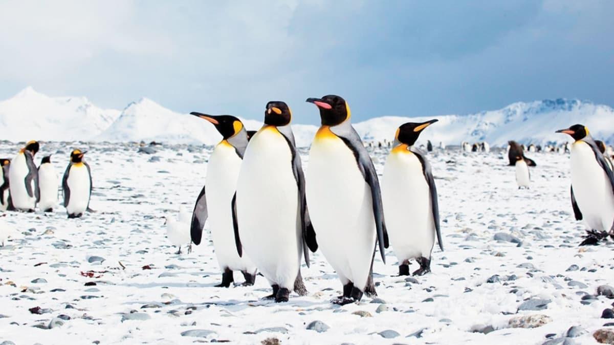 Buzullar eriyince penguenler seviniyor