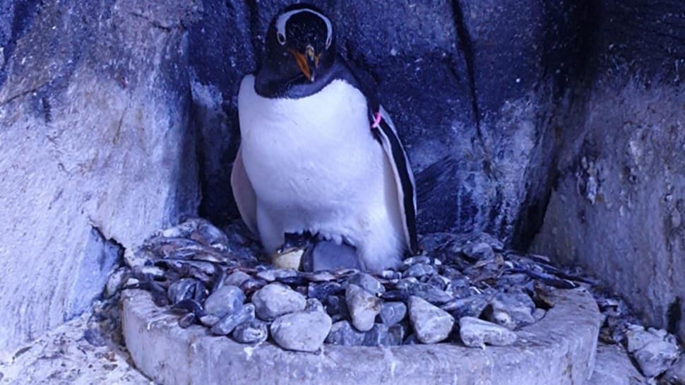 Türkiye'de türünün ilk bebek pengueni doğdu