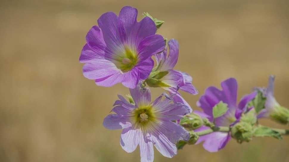 Hatmi çiçeği ciğerleri temizliyor!  Hatmi çiçeğinin faydaları nelerdir?