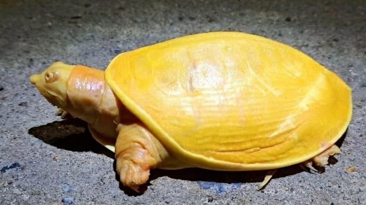 Hindistan'da nadir bulunan sarı kaplumbağa koruma altına alındı