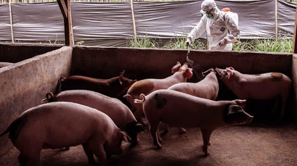 Afrika domuz vebası nedeniyle Endonezya'da 24 bin domuz telef oldu