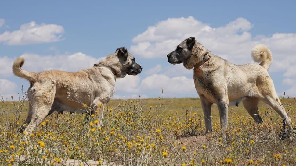 Bakan Varank açıkladı: Artık Kangal köpekleri çiple takip edilecek