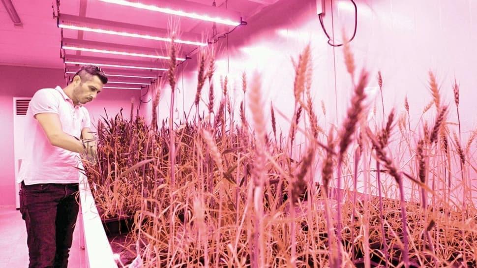 'Hızlı ıslah ünitesi'yle 2 ayda buğday hasadı