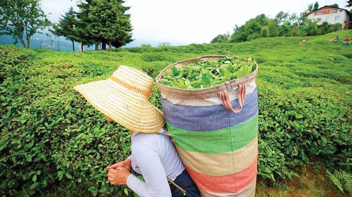 Yaş çay üreticisinin ödemeleri başlıyor