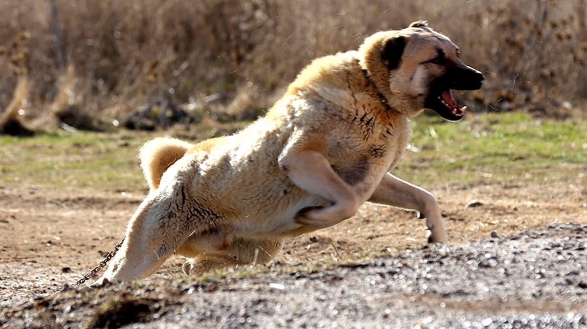 """Kangal köpekleri yavrularını neden yiyor"""" 5,5 yıldır süren araştırma sonunda sır çözüldü"""