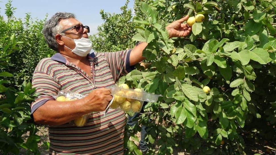 Dalında 5, marketlerde 50 lira: Guava meyvesine talep yağıyor