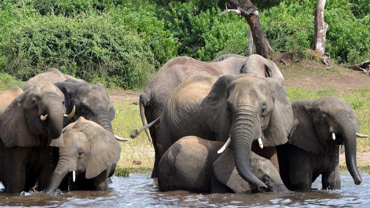 Botvana'da yaşanan fil ölümlerinin nedeni siyanobakteriler olduğu tespit edildi