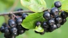 Antioksidan deposu aronya ve mürver bağışıklığı güçlendiriyor