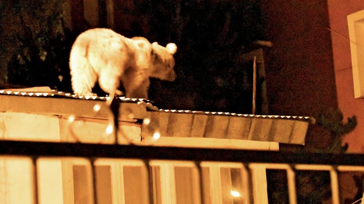 Bozayılar yiyecek peşinde! Çatıda davetsiz misafir!