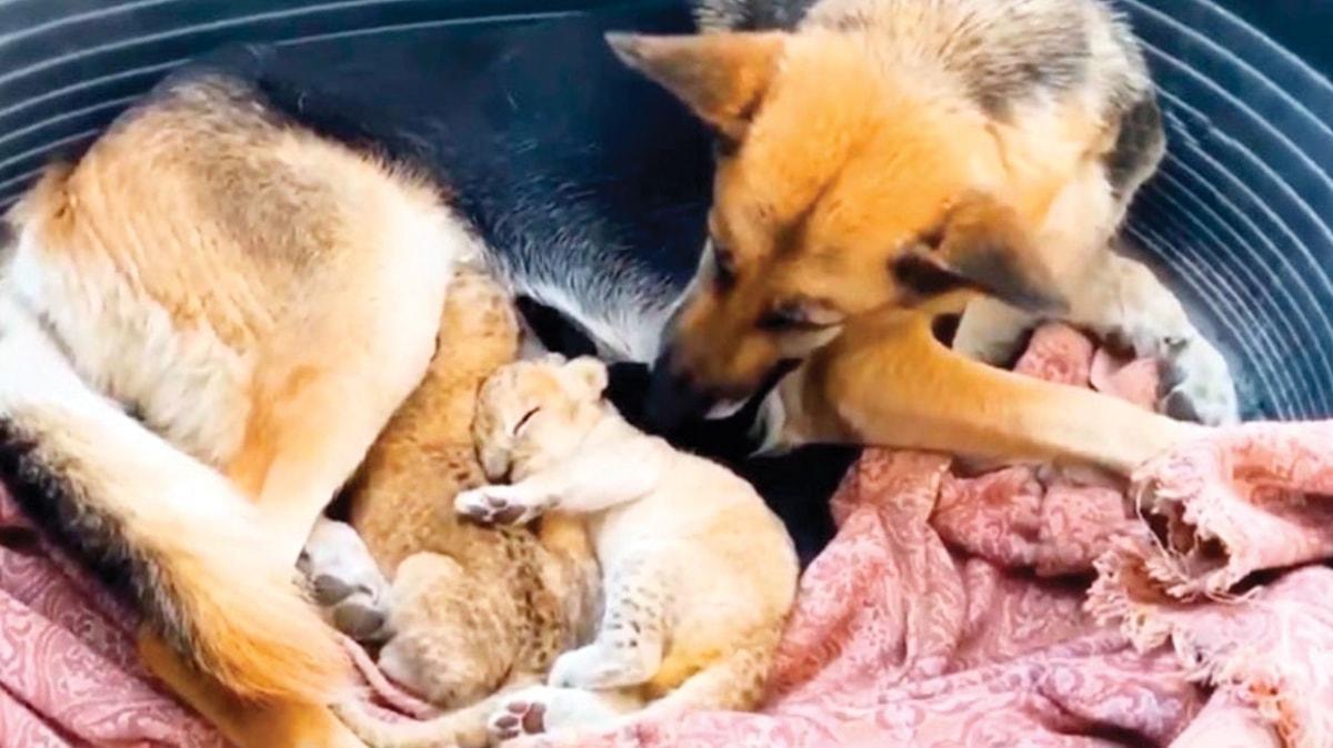 Alman kurdu aslanlara annelik yapıyor