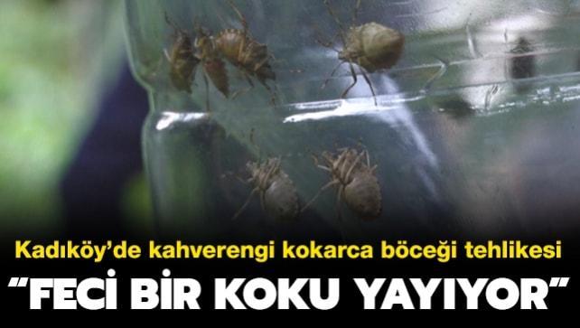 Kadıköy'de kahverengi kokarca böceği tehlikesi: Öldürünce feci bir koku yayıyor