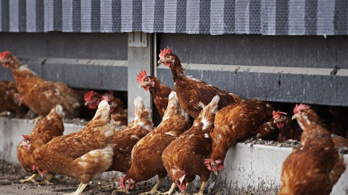 """Hollanda'da """"kuş gribi"""" paniği: Rusya veya Kazakistan'dan göçen kuşlardan geldi"""