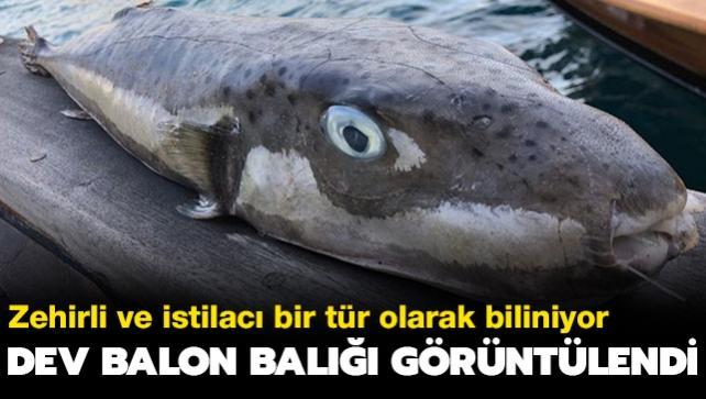 Zehirli olmasıyla biliniyor... Bodrum'da bir metrelik balon balığı avlandı
