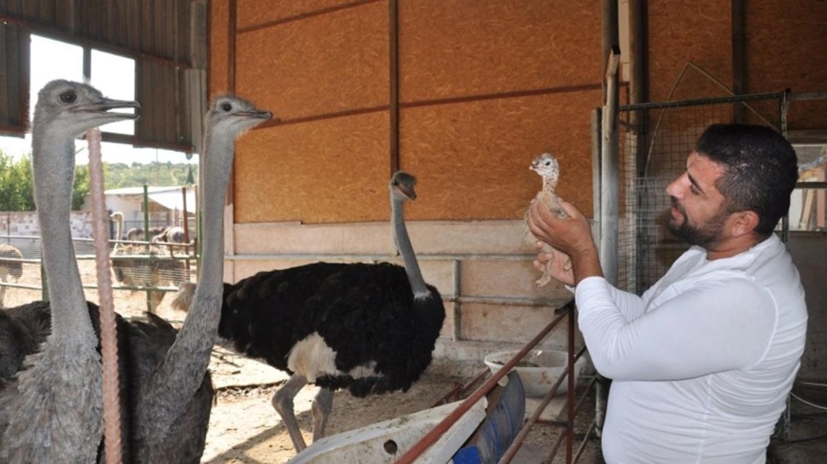 Hobi olarak başladığı 'deve kuşu yetiştiriciliği' işinde şimdi paraya para demiyor