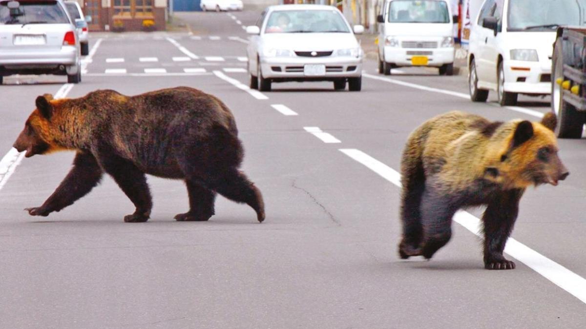 Japonya'da son 1 ayda 13 bin ayı şehre indi