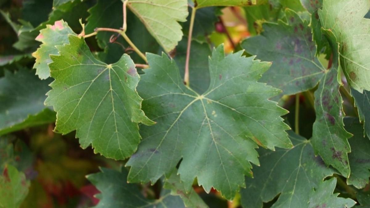 Tokat yaprağına rakip olan 'yapıncak yaprağı' tescillendi