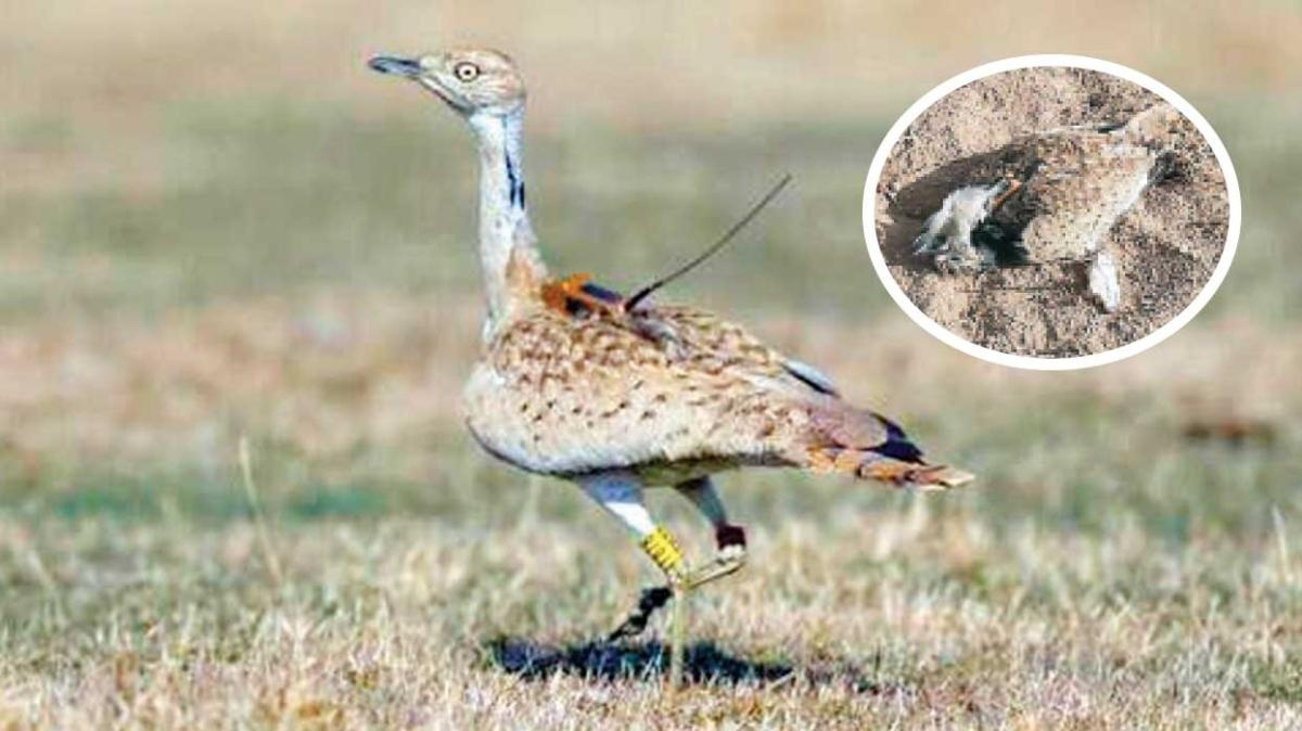 7 yıl sonra görülen toy kuşunu avladılar