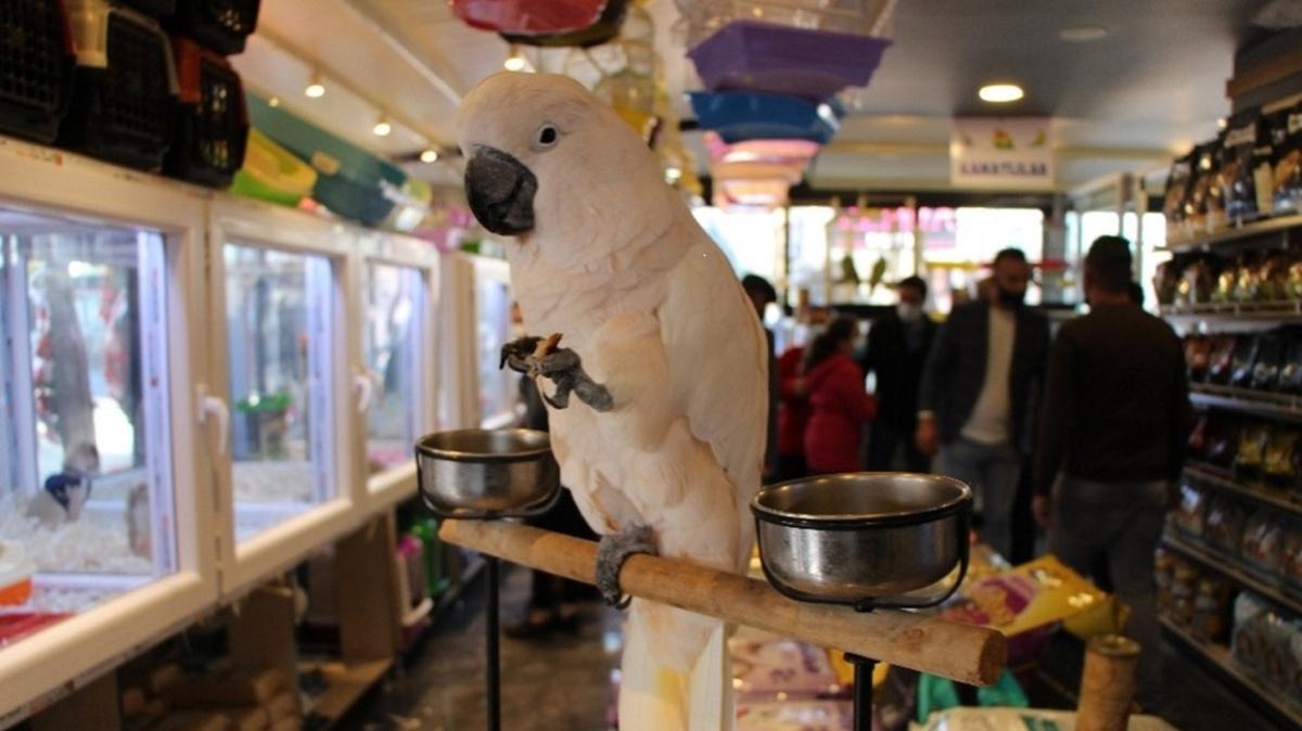Amasya'da nadir türdeki papağan otomobil fiyatına satılıyor