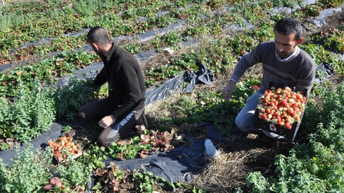 Yılın son çilek hasadı başladı: Yüzde 80 hibe desteğiyle ekildi