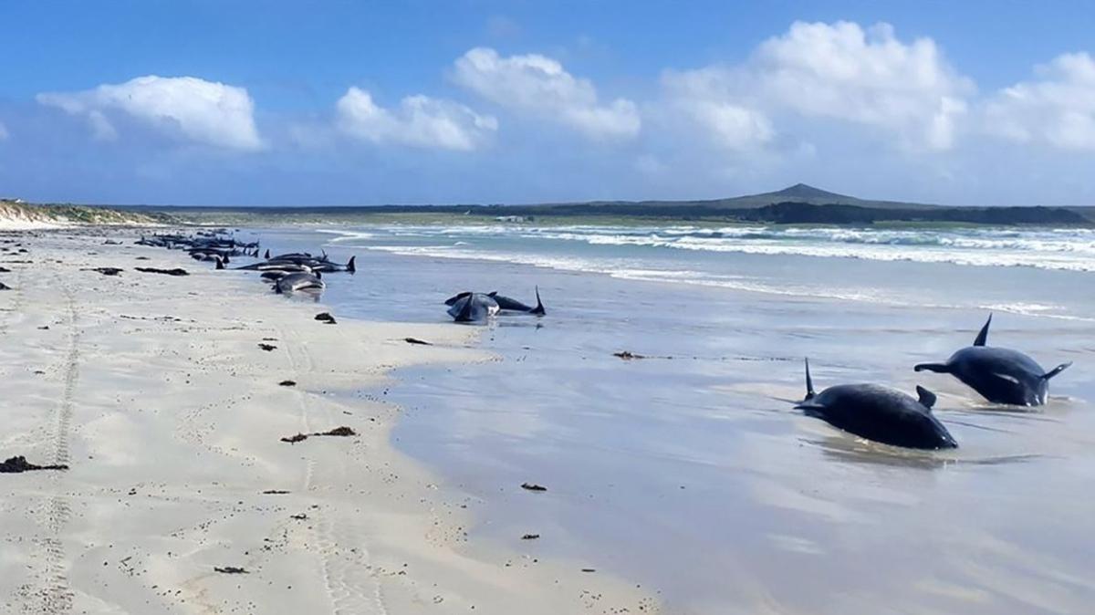 Yeni Zelanda'da ürperten görüntü: Çok sayıda yunus ve balina karaya vurdu