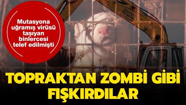 Koronavirüs nedeniyle telef edilen binlerce vizon zombi gibi toprağın altından fışkırdı