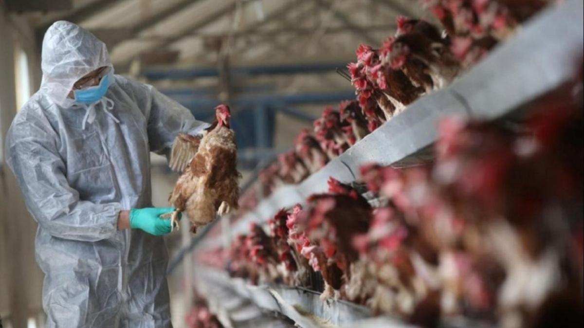 Kuş gribi yayılıyor: Japonya'da yaklaşık 146 bin tavuk itlaf edilecek