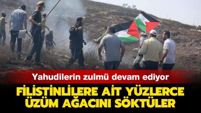 Yahudilerin zulmü devam ediyor... Filistinlilere ait yüzlerce üzüm ağacını söktüler