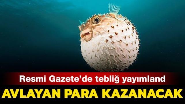Balon balığı için Resmi Gazete'de tebliğ yayımlandı: Her kuyruk için 5 lira ödenecek!
