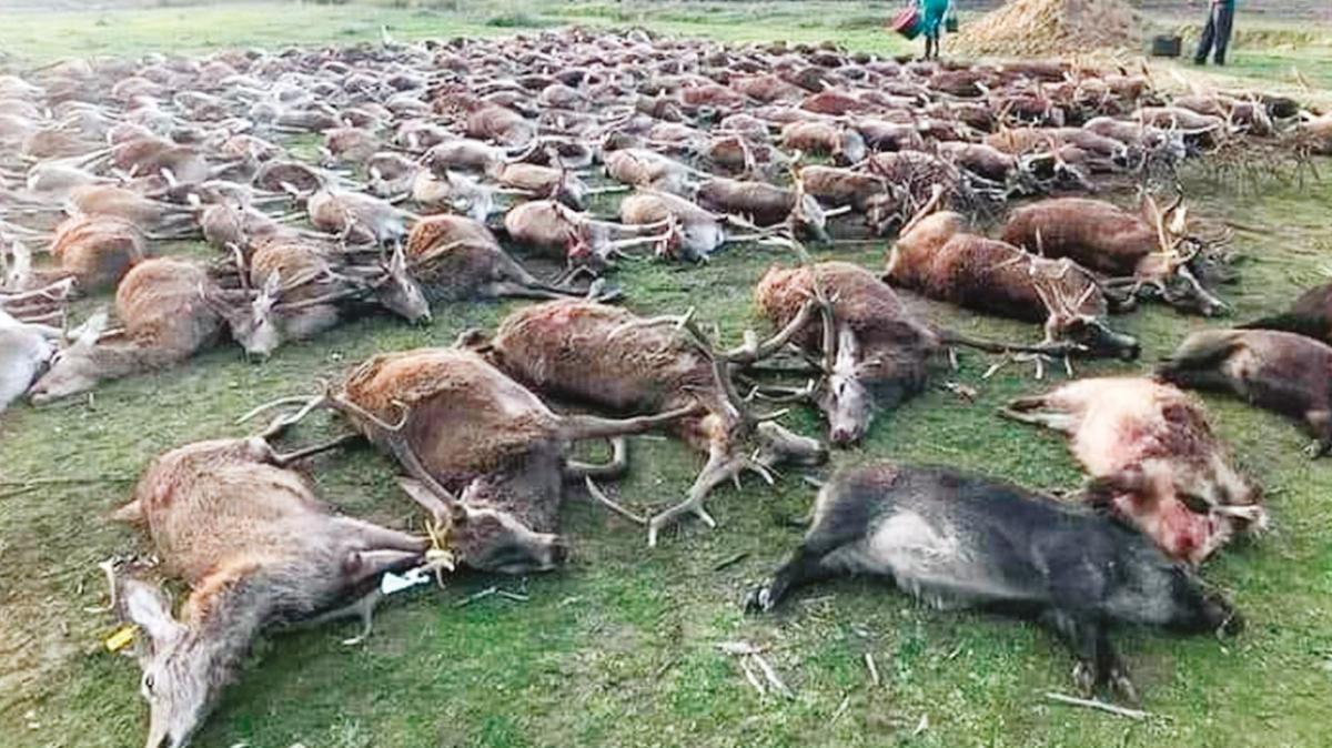 Avrupa'nın ortasında sürek avı katliamı