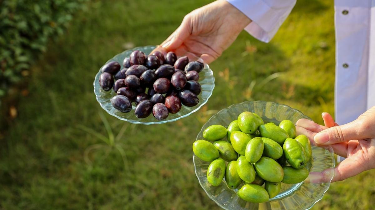 Lezzetiyle diğerlerinden farklı olan çekişte zeytininin yağı tescillendi
