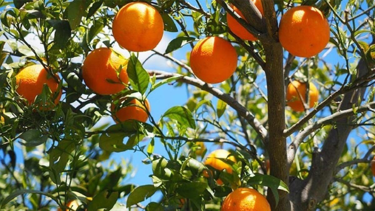 Adana'da bahçeden çalınmak istenilen 800 kilogram portakal sahibine verildi