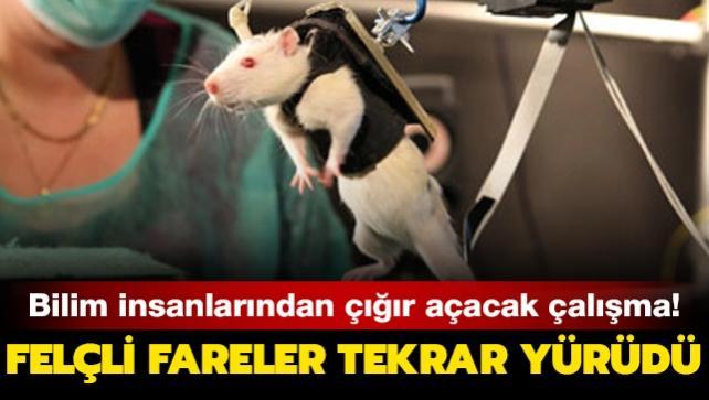 Bilim insanlarından çığır açacak çalışma! Felçli fareler tekrar yürüdü