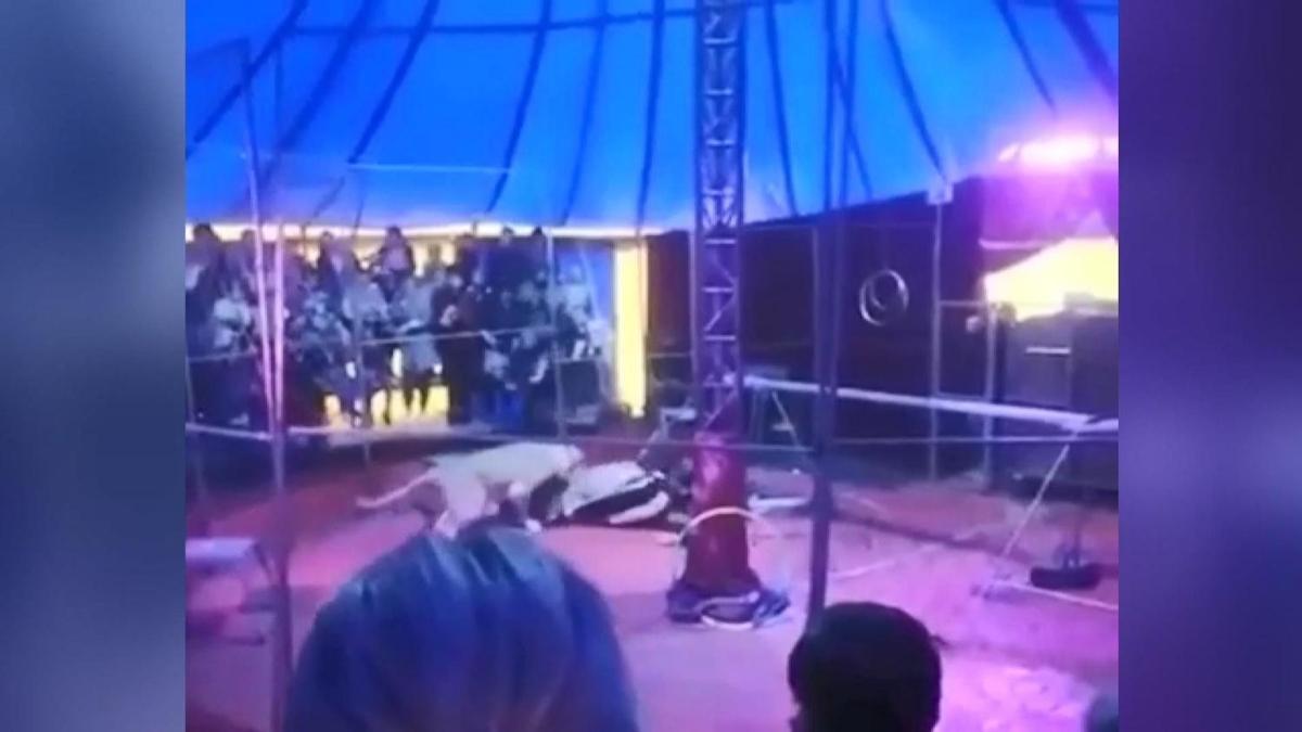Rusya'da bir sirkte kaplan eğitmenine saldırdı