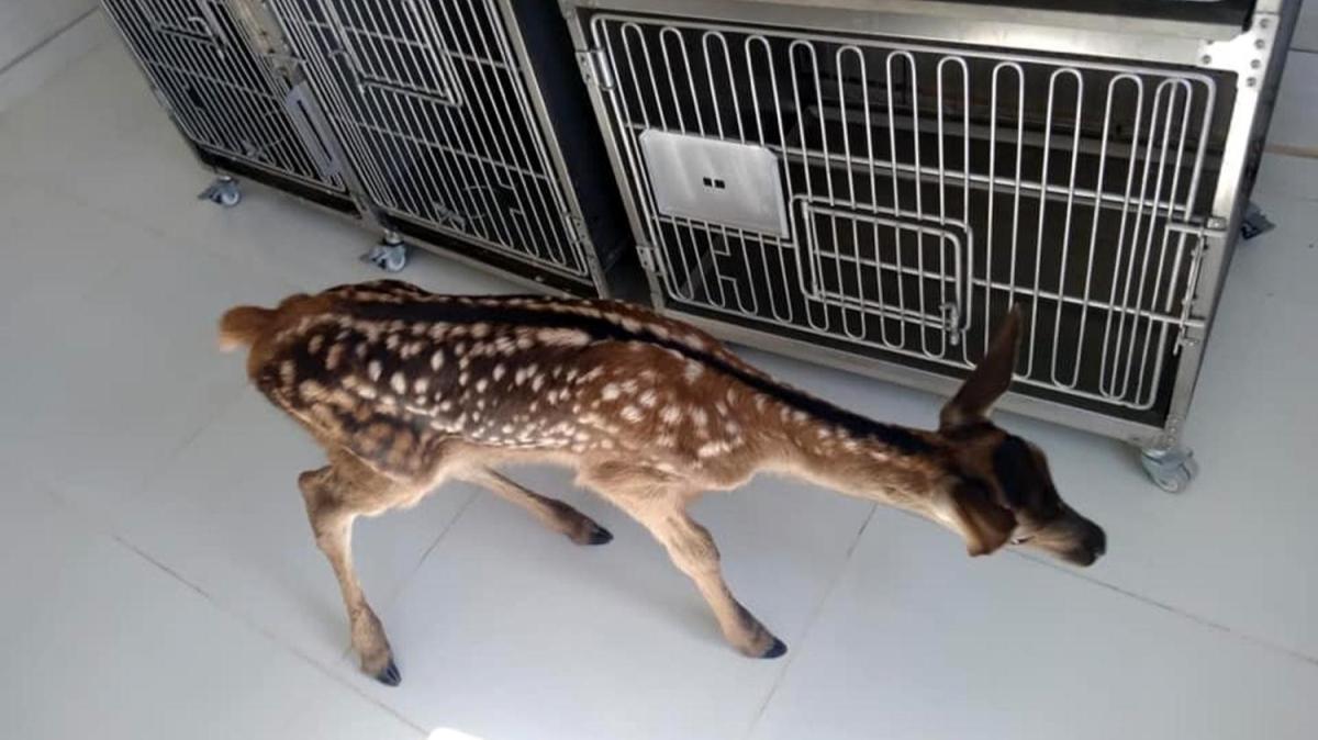Afyonkarahisar'da köpeklerin saldırısında yaralanan geyik yavrusu tedaviye alındı