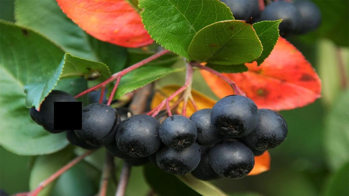 Dünyaca ünlü bitki aronya Yalova'nın tescilli meyvesi oldu