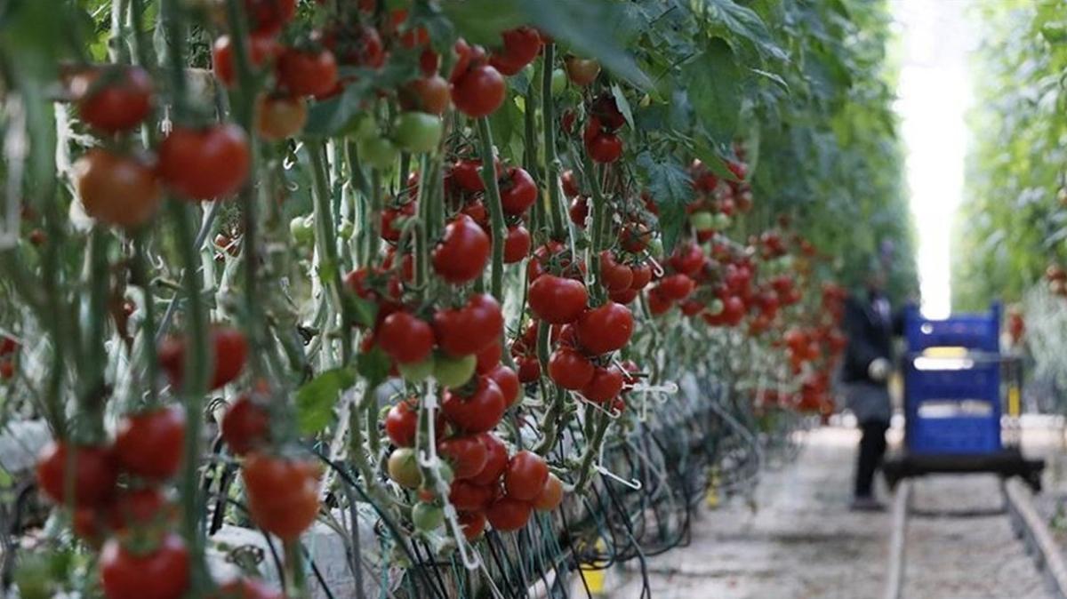 Rusya, Türkiye'den domates ithalat kotasını 300 bin tona yükseltildi
