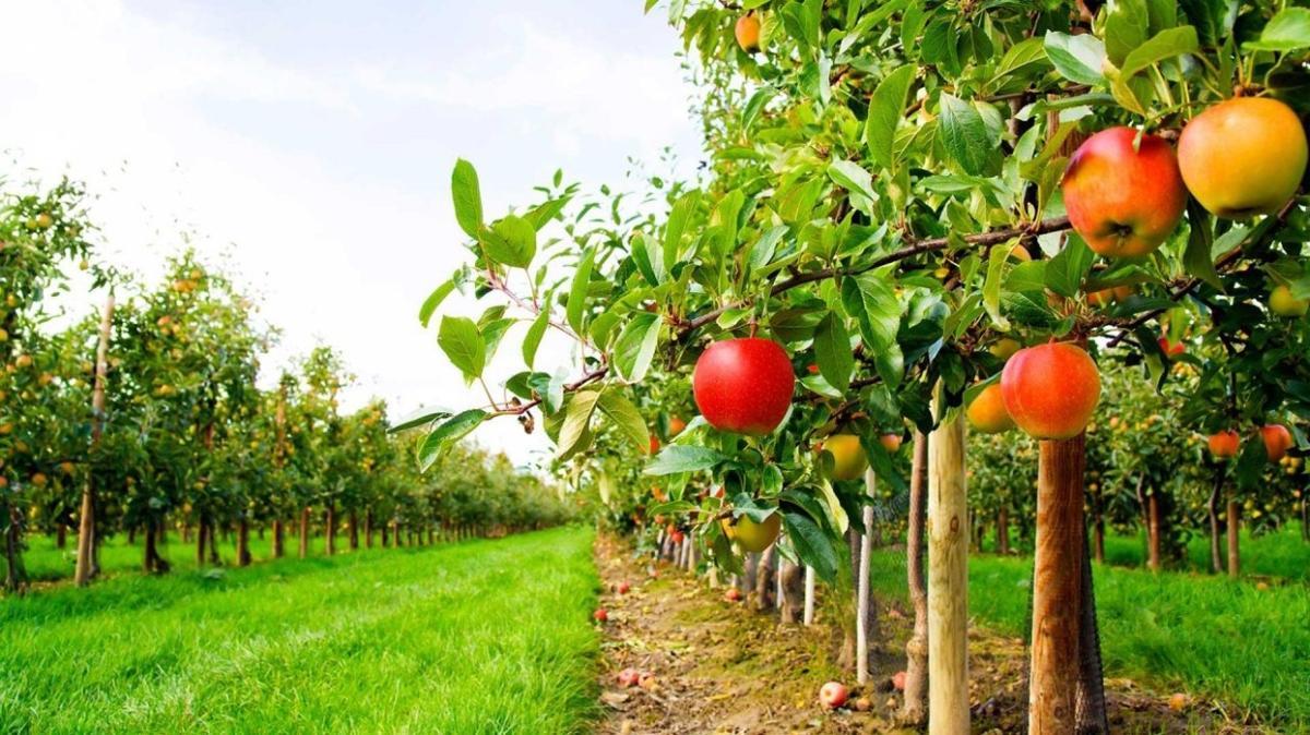 Tokat Niksar'da meyve bahçesi satılacak!
