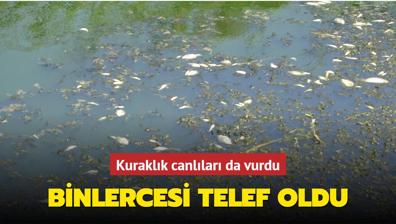 Aydın'da kuraklık nedeniyle binlerce balık telef oldu