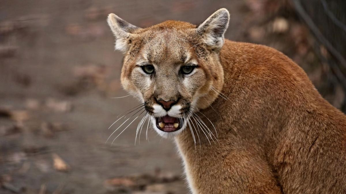 ABD'de dağ aslanı dehşeti... Çocuğu annesi kurtardı