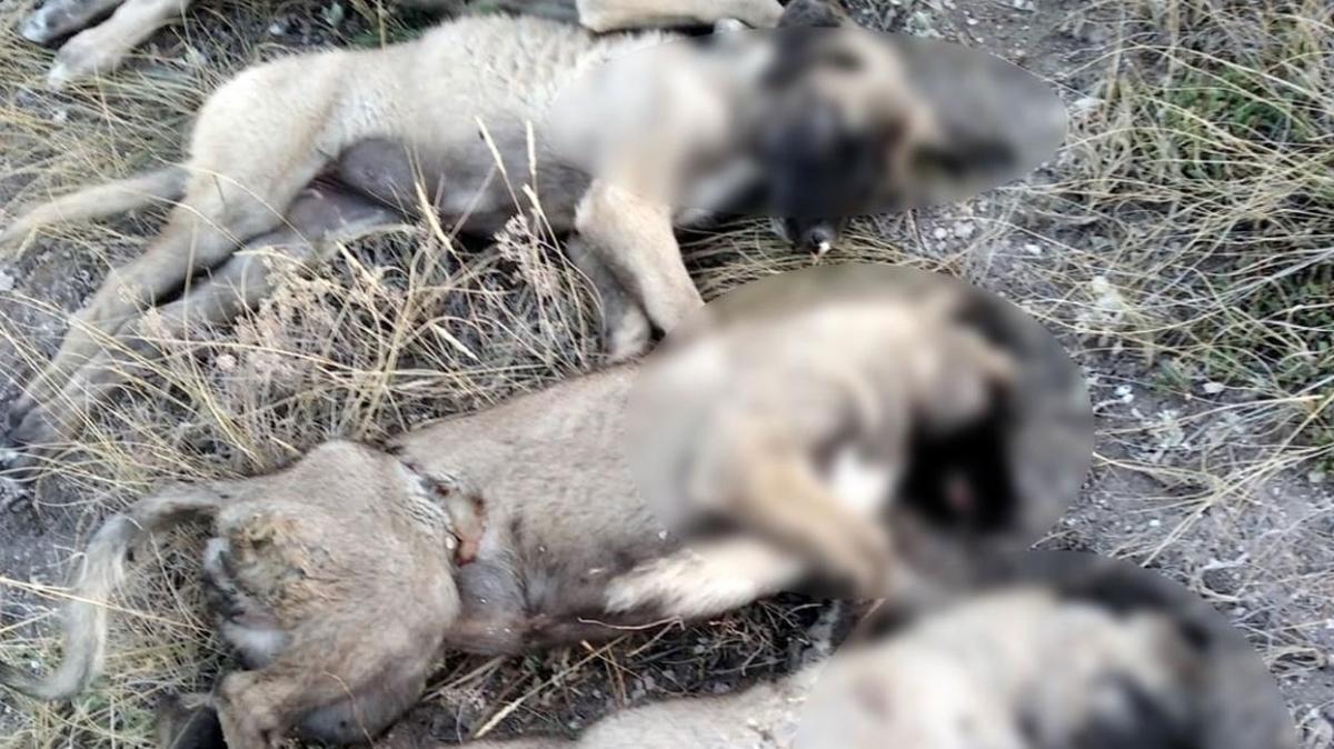 Ankara-Ayaş'ta yan yana 5 köpek cesedi bulundu