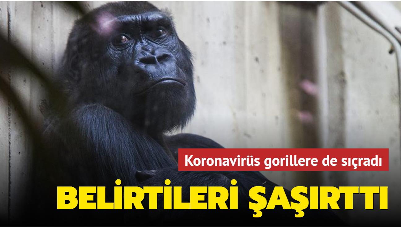 Koronavirüs gorillere de sıçradı