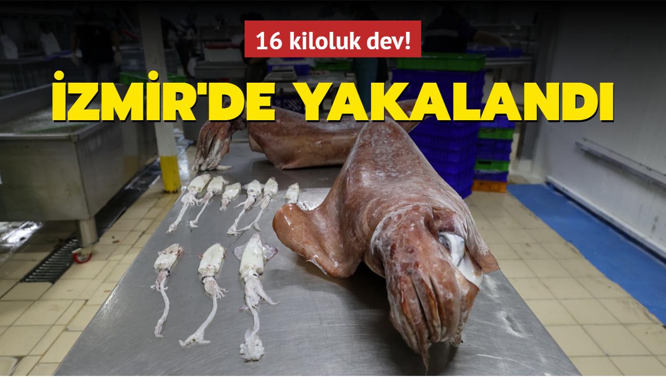 16 kiloluk dev! İzmir'de yakalandı