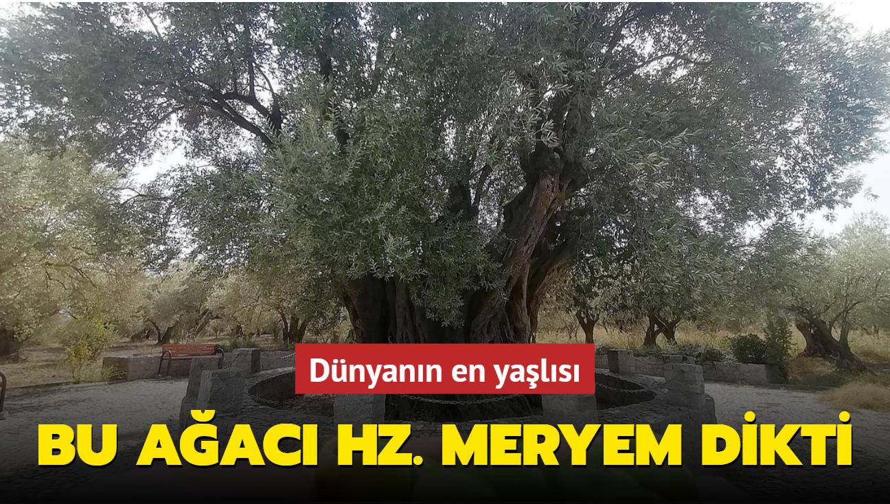 Hz. Meryem'in diktiği ağaçtan yüzlerce kilo zeytin elde ediliyor
