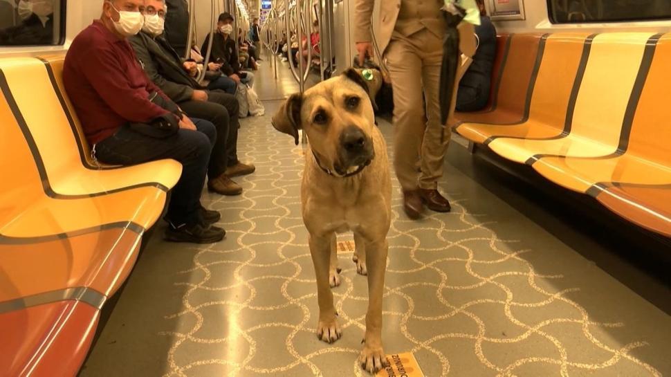 Köpek 'Boji' İstanbul'u turluyor... Bir günde 29 durak gezdi