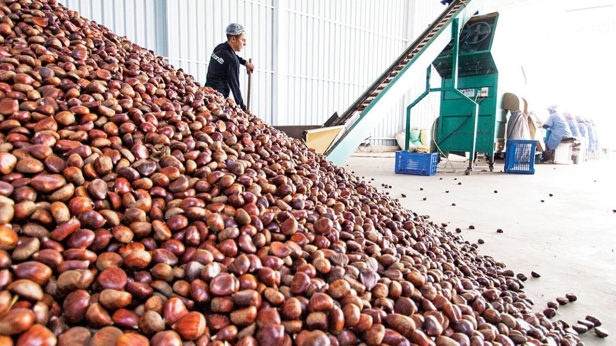 Kestanede hedef 50 milyon dolar ihracat